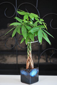 Lucky 5 Braided Money Tree