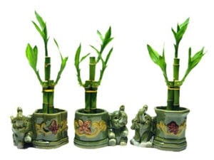 Lucky Bamboo Arrangements