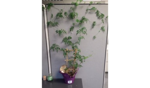 Cubicle Ivy Wall