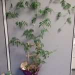 Cubicle Décor Tips – Create an Ivy Cubicle Wall